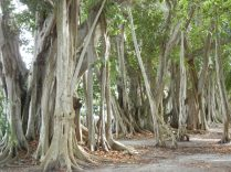 Banyan Trees, FL