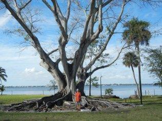 Ficus Tree, Florida