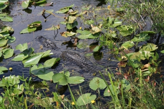 10-5-10 - Everglades Alligators (3)